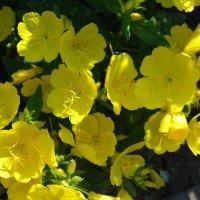 Солнечная Энотера июньским утром... :: Тамара (st.tamara)