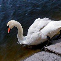 Большому лебедю - большое плавание! :: Наталья