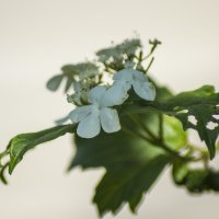 Ой, цветет калина :: Елена Баландина