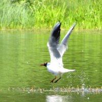 Взлетая с воды :: Андрей Снегерёв