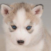 Самый стлашный в мире волк :: Илона Панарина