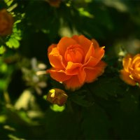 Сибирская роза :: Татьяна Соловьева