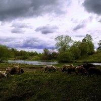 Овцы у реки :: Павел Крутенко