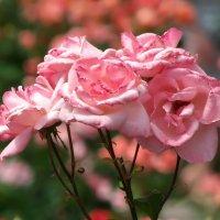 Розовые розы... :: Наталья
