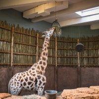 Обед  жирафа :: Лёша