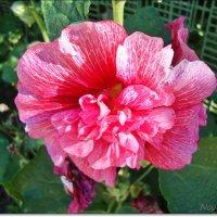 Розовая махровая мальва :: Лидия (naum.lidiya)