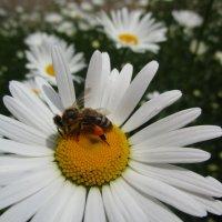 Пчелка набрала перги (пыльцы) :: Татьяна ❧