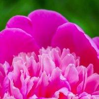 Лепестки розового пиона :: Сергей Тагиров