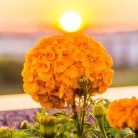 Цветок в закате :: Александр Витебский