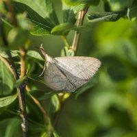 Бабочка :: Георгий Морозов