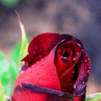 Королева цветов :: Наталья