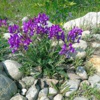 Полевые цветы :: Валентин Когун