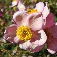 Розовая нежность :: Лидия (naum.lidiya)