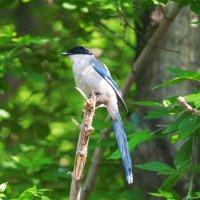 Длиннохвостая птица :: Анатолий Иргл