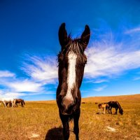 Ольхонские лошади :: Павел Крутенко