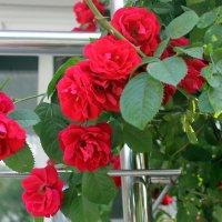 Роза за окошком, :: Валентина ツ ღ✿ღ