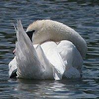Лебедь. :: Наталья