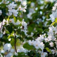 яблони в цвету :: Ольга Щербакова