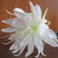 Белый кактуса цветок :: Дмитрий Никитин