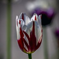 тюльпан :: gribushko грибушко Николай