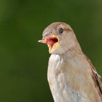 дразнилкин) :: linnud