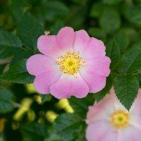 цветение шиповника :: Виталий Рыбалов