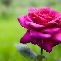 Rose :: Илья А.