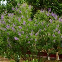 Красивое цветущее дерево у нас на массиве :: Светлана