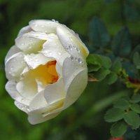 Дикие розы :: Рома Григорьев