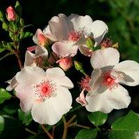 розовая нежность от природы :: Олег Лукьянов