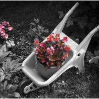 Цветы . Черно- красное фото . :: Игорь Абламейко