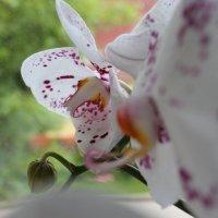 орхидея :: Евгения Коркунова