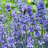 Лаванда цветёт :: Swetlana V