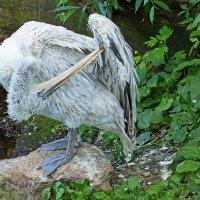 Кудрявый пеликан :: Александр Запылёнов