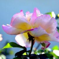 Почему так сладко пахнут розы? :: Ольга Голубева