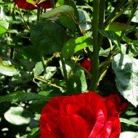 Бархатная роза :: Владимир Бровко