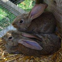 Братья кролики :: Svetlana Zavadska