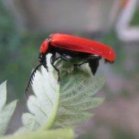 Красный жук - стригун. :: Valentina