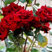 Июньские розы... :: Тамара (st.tamara)