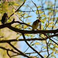 щеглы :: linnud