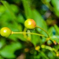 капля дождя на зелёной ягоде :: Света Кондрашова