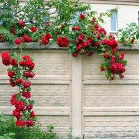 Эти розы, как волшебницы, завораживают нас. :: Валентина ツ ღ✿ღ