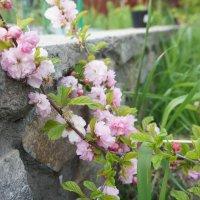 Розовая весна :: Наталья Тимофеева
