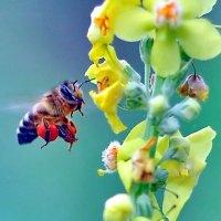 Из жизни пчёл :: Vladimir Lisunov