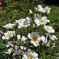 Белые розы :: Владимир Бровко