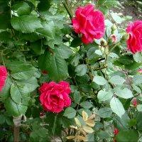 Розовый кустик :: Нина Корешкова