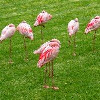 Фламинго отдыхают! :: Witalij Loewin
