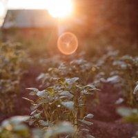 Прекрасна картошка в закатных лучах :: Александр Решетников