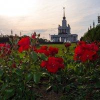 Розы, которые не нужно красить. :: Pavel Stolyar
