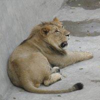 Будущий царь зверей :: Константин Ординарцев